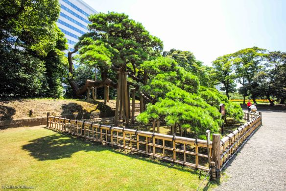 Hama-Rikyu Onshi Teien: 300 Years old Pine